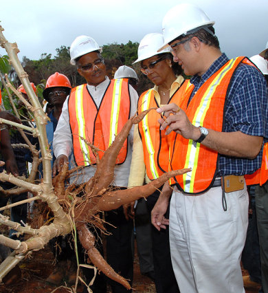 Governor-General, His Excellency the Most Hon. Professor Kenneth Hall (left) and his wife, Mrs. Rheima Holding Hall (centre), and Executive Director, Jamaica Bauxite Institute, Parris Lyew-Ayee admire a root of sweet cassava that was grown on reclaimed bauxite land, during a tour of St. Ann Jamaica Bauxite Partners.