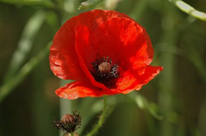 The significance of the Poppy
